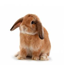 Dwarf RABBIT ARIES